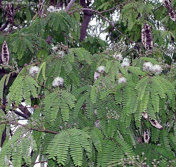 Lysiloma Microphylla Lysiloma Watsonii Feather Bush