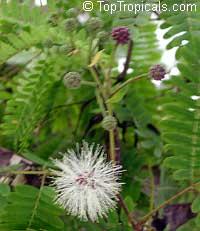 Lysiloma microphylla, Lysiloma watsonii, Feather Bush  Click to see full-size image