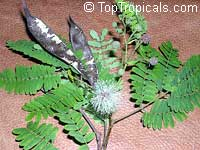 Lysiloma microphylla, Lysiloma watsonii, Feather Bush  Click to see full-size image