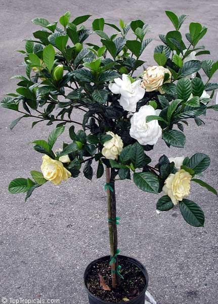 Gardenia Aimee Yoshioka (First Love)   Standard, Grafted Click To See Full
