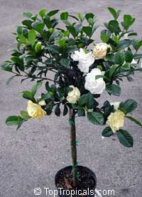 Gardenia Aimee Yoshioka (First Love) - standard, grafted  Click to see full-size image