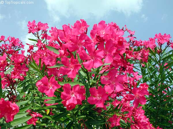 how to grow yellow oleander seeds