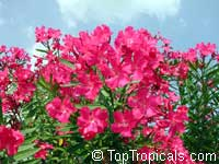 Nerium oleander (crimson) - seeds
