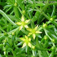 Sedum mexicanum, Mexican Sedum  Click to see full-size image