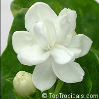 Jasminum sambac Arabian Nights