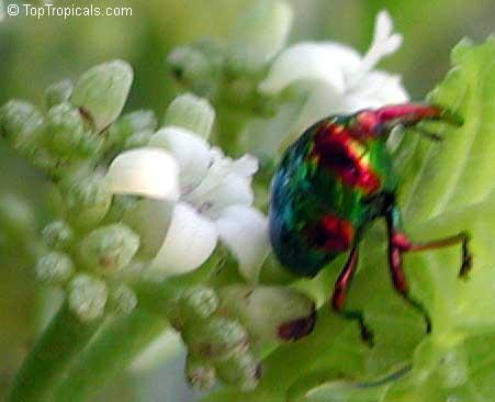 Psychotria nervosa, Psychotria ligustrifolia, Psychotria ...