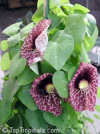 Aristolochia gigantea, Calico Flower, Pelican Flower