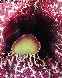 Aristolochia littoralis, Aristolochia elegans, Elegant Dutchmans Pipe, Calico Flower  Click to see full-size image