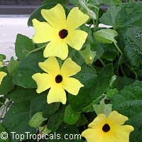 Thunbergia alata, Black eye Susan  Click to see full-size image