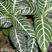 Aphelandra squarrosa, Zebra Plant  Click to see full-size image