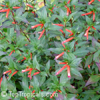 Cuphea ignea, Cigar Flower, Cigarette Plant, Firecracker Plant