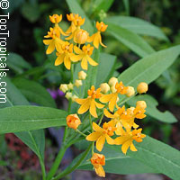 Asclepias curassavica - Yellow Milkweed, Butterfly Weed   Click to see full-size image