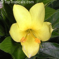 Barleria micans - Yellow Philippine Violet, Giant Yellow Shrimp
