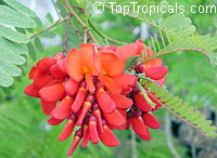 Sesbania punicea, Sesbania tripetii, Daubentonia tripetii, Rattle Box Tree, Chinese Rattlebox, Rattlebush, Spanish Gold, Scarlet Wisteria, Red Sesbania  Click to see full-size image