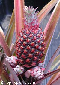 Ananas comosus - edible Pineapple Florida Special