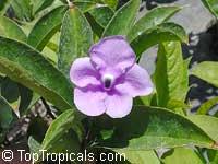 Brunfelsia pilosa, Manaca rootClick to see full-size image