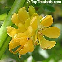 Cassia floribunda - seedsClick to see full-size image