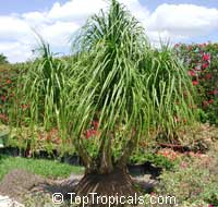 Beaucarnea guatemalensis, Red Ponytail Plant, Guatemala Pony Tail
