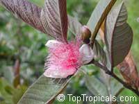 Psidium guajava, Tropical Guava, Guajava  Click to see full-size image