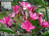 Plumeria rubra Pink, Frangipani, Temple tree, CalachuchiClick to see full-size image