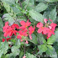Crossandra Nile Queen, Red crossandra  Click to see full-size image