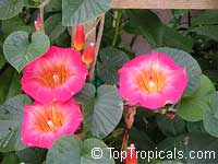 Stictocardia beraviensis, Ipomoea beraviensis, Hawaiian Bell, Hawaiian Sunset Vine, Braveheart Vine