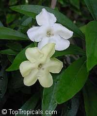 Brunfelsia manaca (corrugata)  Click to see full-size image