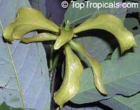 Desmos chinensis, Dwarf Ylang Ylang shrubClick to see full-size image