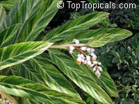 Alpinia zerumbet 'Variegata', Variegated ginger  Click to see full-size image