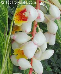 Alpinia zerumbet variegated - Variegated ginger  Click to see full-size image