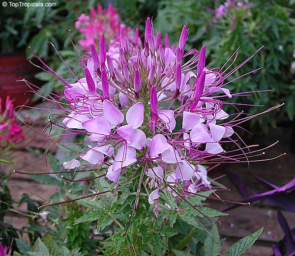 cleome hassleriana  cleome spinosa  spider flower  crown