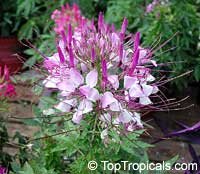 Cleome hassleriana, Cleome spinosa, Spider Flower, Crown Flower  Click to see full-size image