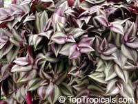 Tradescantia zebrina, Zebrina pendula, Wandering Jew  Click to see full-size image