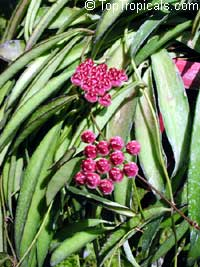 Hoya kentianaClick to see full-size image