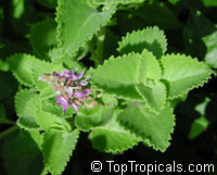 Plectranthus amboinicus - Cuban Oregano   Click to see full-size image
