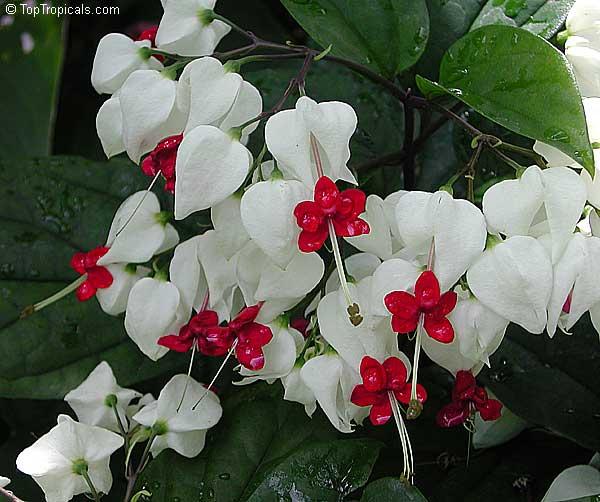 Clerodendrum Thomsoniae Bleeding Heart Glory Bower