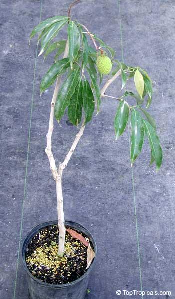 Litchi Chinensis Nephelium Litchi Lychee Lichee
