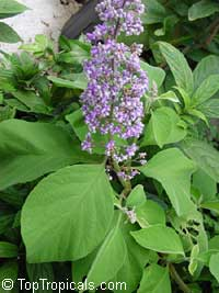 Cornutia grandifolia - African lilac  Click to see full-size image
