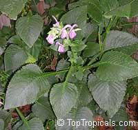 Brillantaisia guianensis, Leucorhaphis lamium, Brillantaisia nitens, Tropical Giant Salvia, Fiddle Leaf Click to see full-size image