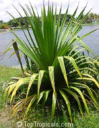 Pandanus tectorius - Screw Pine  Click to see full-size image
