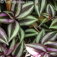 Tradescantia zebrina, Zebrina pendula, Wandering JewClick to see full-size image