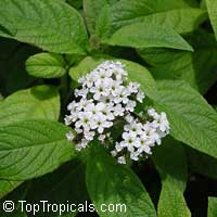 Heliotropium peruviana Alba, Heliotropium arborescens, White TurnsoleClick to see full-size image
