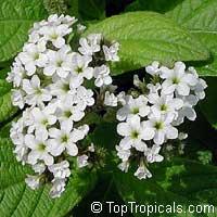 Heliotropium peruviana Alba, Heliotropium arborescens, White Turnsole  Click to see full-size image