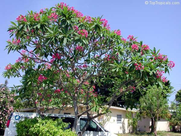 Plumeria Rubra Pink Frangipani Temple Tree Calachuchi
