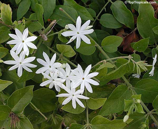 Jasminum multiflorum, Jasminum pubescens, Jasminum ...