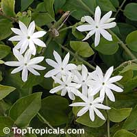 Jasminum pubescens - Angel Hair Jasmine