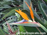 Strelitzia reginae, Bird of Paradise, Crane Flower, Stelitzia  Click to see full-size image