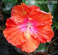 Hibiscus Fiesta, Hibiscus Fiesta  Click to see full-size image