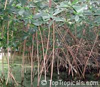 Rhizophora mangle, Red Mangrove