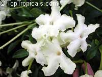 Brunfelsia nitida, Lady of the Night  Click to see full-size image